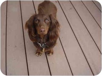 Dachshund Dog for adoption in San Jose, California - Duke 2207