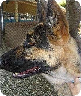 German Shepherd Dog Mix Dog for adoption in Santa Barbara, California - Traci