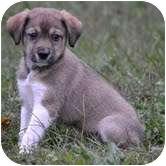Shepherd (Unknown Type)/Beagle Mix Puppy for adoption in Harrisonburg, Virginia - Pammy