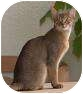 Abyssinian Cat for adoption in Whitestone, New York - Sally & Betsy