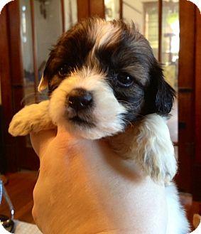 Shih Tzu/Maltese Mix Puppy for adoption in waterbury, Connecticut - Tessa