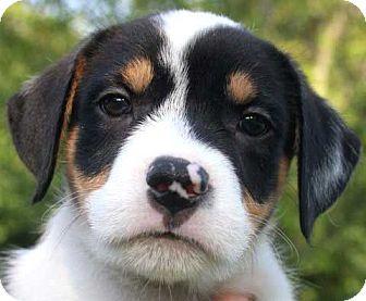 Labrador Retriever Mix Puppy for adoption in Salem, New Hampshire - PUPPY MOO-MOO
