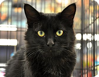 Domestic Longhair Cat for adoption in Great Falls, Montana - Marco