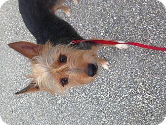Yorkie, Yorkshire Terrier/Basenji Mix Dog for adoption in Myakka City, Florida - Spike