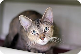 Domestic Shorthair Cat for adoption in Chicago, Illinois - Tina Louise