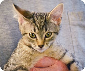 Domestic Shorthair Kitten for adoption in Lombard, Illinois - Jammers