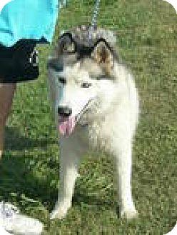 Husky Dog for adoption in Olympia, Washington - Bucky