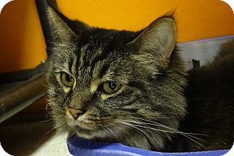 Domestic Longhair Cat for adoption in Elyria, Ohio - Smokey