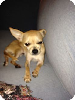 Chihuahua/Terrier (Unknown Type, Small) Mix Dog for adoption in Philadelphia, Pennsylvania - Tink