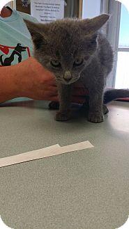 Domestic Shorthair Kitten for adoption in Cody, Wyoming - Sitka