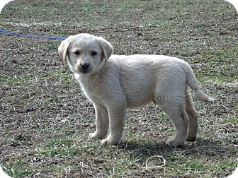 Great Pyrenees/Labrador Retriever Mix Puppy for adoption in parissipany, New Jersey - LONDON