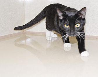 Domestic Shorthair Cat for adoption in Walnut Creek, California - Martina