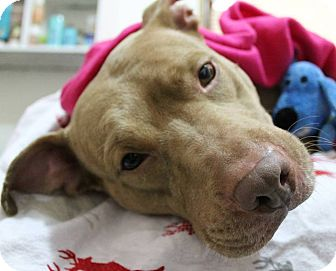 Pit Bull Terrier Mix Dog for adoption in New York, New York - Lana fka Farzana