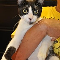 Domestic Shorthair Kitten for adoption in Pompano Beach, Florida - Halle
