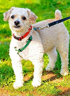 Poodle (Miniature) Dog for adoption in Freeport, New York - Pumpkin