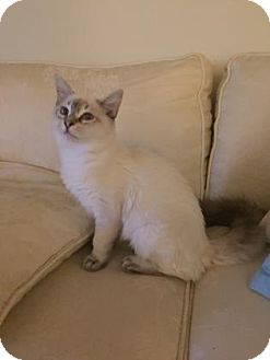 Siamese Kitten for adoption in Fountain Hills, Arizona - PEARL