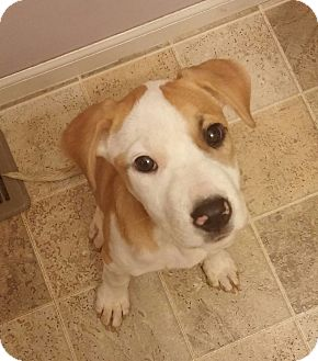 Hound (Unknown Type) Mix Puppy for adoption in Laingsburg, Michigan - Ricky