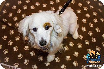 Dachshund Mix Dog for adoption in Evansville, Indiana - Petey