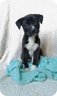 Border Collie Mix Puppy for adoption in Newark, Delaware - Shay