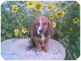Basset Hound/Beagle Mix Puppy for adoption in Provo, Utah - LITTLE DAN