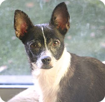 Rat Terrier/Chihuahua Mix Dog for adoption in Woonsocket, Rhode Island - Zaza - MEET ME