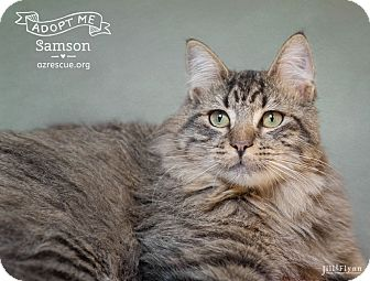 Maine Coon Cat for adoption in Phoenix, Arizona - Samson