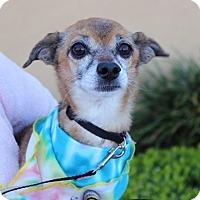 Chihuahua/Shih Tzu Mix Dog for adoption in Las Vegas, Nevada - CHICO