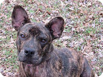 Pit Bull Terrier Mix Dog for adoption in Broken Arrow, Oklahoma - Phoenix
