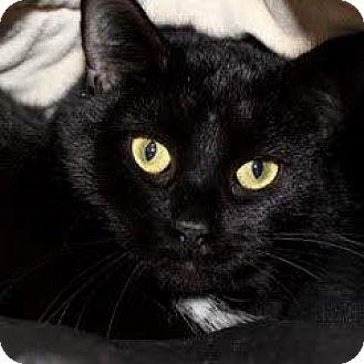Domestic Shorthair Cat for adoption in Denver, Colorado - Chel