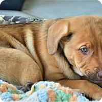 Adopt A Pet :: Ginger - Denver, CO