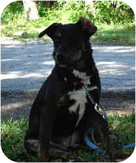 Catahoula Leopard Dog/Labrador Retriever Mix Dog for adoption in Kingwood, Texas - Lacy