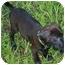 Photo 4 - Labrador Retriever Mix Puppy for adoption in Largo, Florida - CLEO