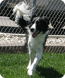 Border Collie Mix Dog for adoption in Meridian, Idaho - Barney