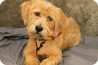 Terrier (Unknown Type, Medium)/Poodle (Miniature) Mix Dog for adoption in New Jersey, New Jersey - NJ - Keka