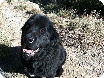 Newfoundland Dog for adoption in Silverthorne, Colorado - Zadie Mae