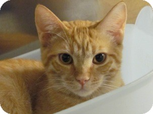 Domestic Shorthair Kitten for adoption in Diamond Bar, California - SIMBA