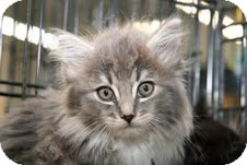 Maine Coon Kitten for adoption in East Brunswick, New Jersey - Muffin