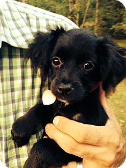 Chihuahua/Dachshund Mix Puppy for adoption in Brattleboro, Vermont - Della