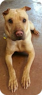 Shar Pei Mix Dog for adoption in Scottsdale, Arizona - Wrinkles