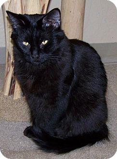 Domestic Longhair Cat for adoption in Grants Pass, Oregon - Anastasia