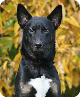 German Shepherd Dog/Australian Kelpie Mix Dog for adoption in Nashville, Tennessee - Eddie