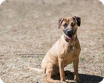 Boxer/Hound (Unknown Type) Mix Dog for adoption in Pinehurst, North Carolina - Luca