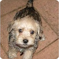 Adopt A Pet :: Dusty - Arlington, TX