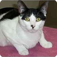 Adopt A Pet :: Silly Kitty - Secaucus, NJ