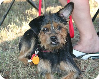 Terrier (Unknown Type, Small) Mix Dog for adoption in Wichita Falls, Texas - Molly