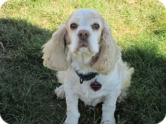 Cocker Spaniel Dog for adoption in Dodge City, Kansas - Lady Bug