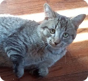 Domestic Shorthair Cat for adoption in Toledo, Ohio - Dragon