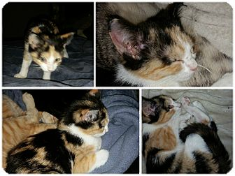 Calico Kitten for adoption in Arlington/Ft Worth, Texas - Isabella