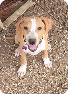 Staffordshire Bull Terrier/Labrador Retriever Mix Puppy for adoption in Phoenix, Arizona - Kimmy