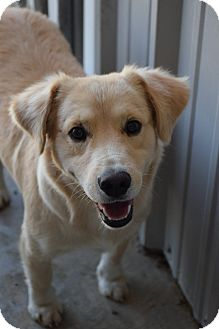 Corgi/American Eskimo Dog Mix Dog for adoption in Lebanon, Missouri - Doug